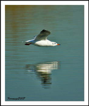 Gavina vulgar 07 - Gaviota reidora - Black-headed gull - Larus ridibundus - Free image #278099