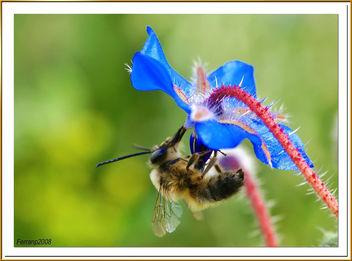 abeja libando una borraja 04 - bee sucking a borage flower - abella libant una borraina - Free image #278129