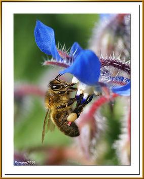 abeja libando una borraja 09 - bee sucking a borage flower - abella libant una borraina - Free image #278159