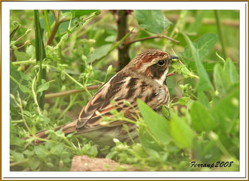 repicatalons 01 - escribano palustre - reed bunting - emberiza shoeniclus - Free image #278179