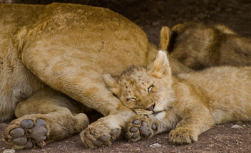 Sleeping Lion Cub - image gratuit #278219