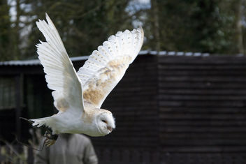 Barn Owl in flight - image #278259 gratis