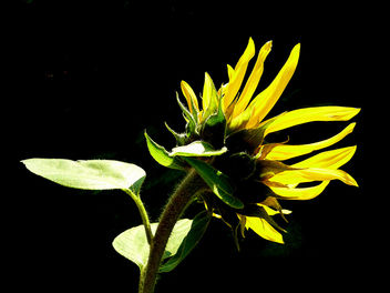 sunflower - image #278789 gratis