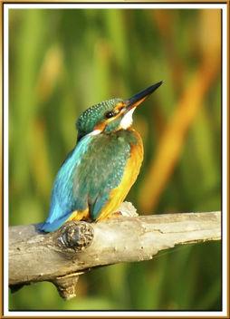blauet femella 29 - martin pescador - king fischer female - alcedo atthis - Free image #279049