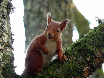 Squirrel - image gratuit(e) #279099