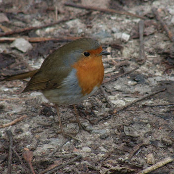 Rouge-gorge / Robin - Kostenloses image #279309