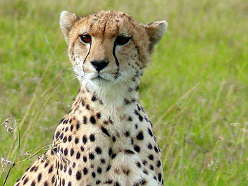 Cheetah - image gratuit #279559