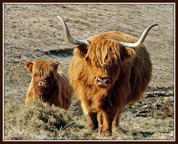 Highland Bull and Calf - Free image #279649