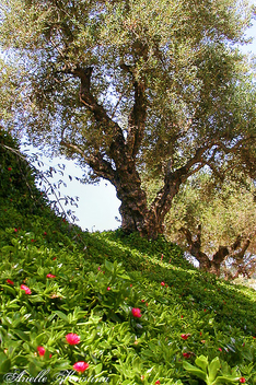 Olive Grove | Crete - Free image #279859