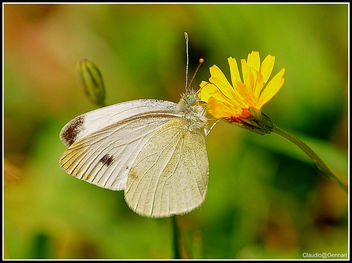 My white butterfly ... - image #279959 gratis