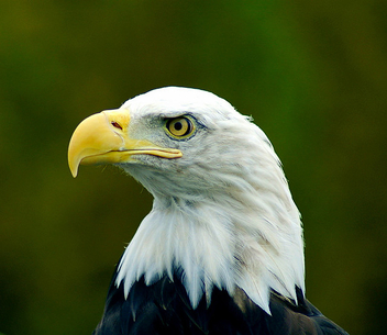 American Bald Eagle Close-up Portrait - image #280139 gratis