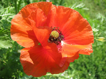 My private poppy! - image gratuit #280159