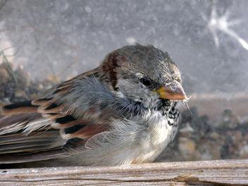 Sparrow - image gratuit(e) #280399