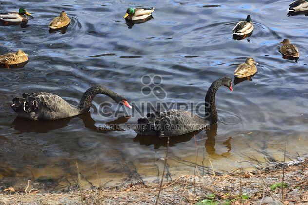 Cygnes noirs - image gratuit #280959
