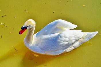 White swan - Kostenloses image #280969
