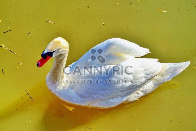 Cisne blanco - image #280969 gratis
