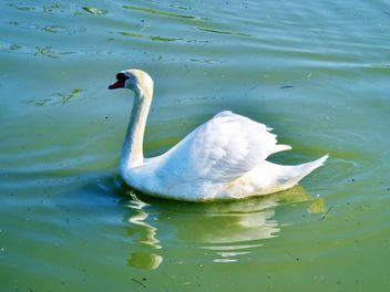 White swan - Free image #280979