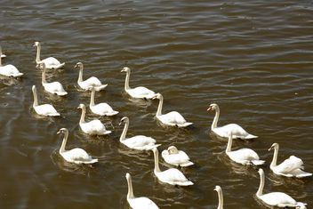 White Swans on the lake - image #280999 gratis