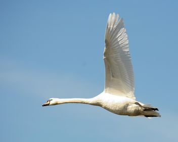 Swan flying - image #281009 gratis