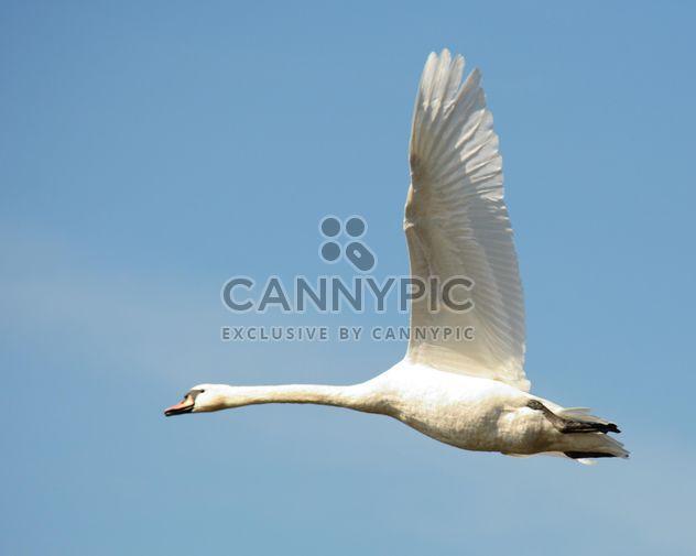 Swan flying - Free image #281009