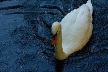 white swan - image #281039 gratis
