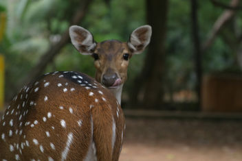 Deer @ Guindy National (Childrens) Park, Chennai - Free image #281229