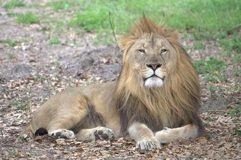 Lion - image gratuit #281259