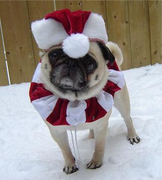 Santa Elf Pug Christmas Costume - Free image #281409