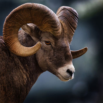Big Horn Sheep - Free image #281529