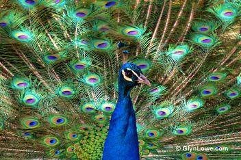 Peacock - The National Zoo - Free image #281749
