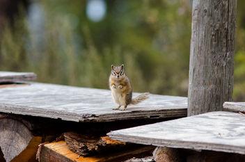 Chipmunk - Free image #282159