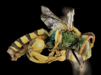 Agapostemon femoratus,M, Side, White Pine Co,NV_2013-12-12-14.50.33 ZS PMax - бесплатный image #282289