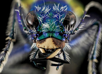 Festive Tiger Beetle, face, Badlands,Pennington Co, SD_2013-12-31-13.21.39 ZS PMax - Kostenloses image #282349