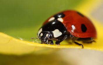 Ladybug - бесплатный image #282599