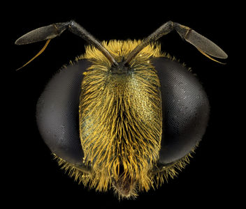 Fly Golden Baby, head, MD, Prince Georges County_2014-05-23-17.05.01 ZS PMax - Free image #282729