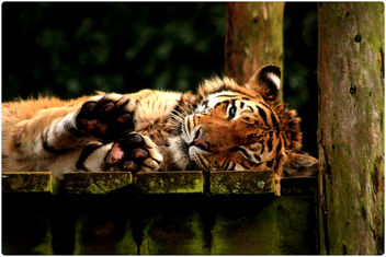 Tigers - South Lakes Animal Park - Free image #282839