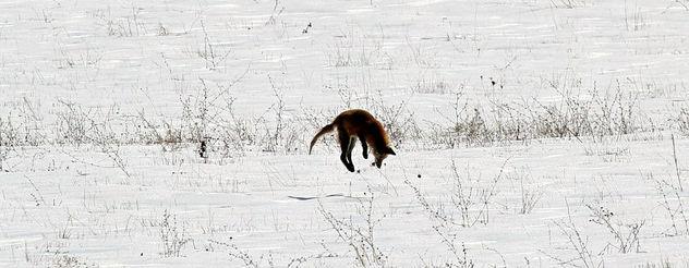 Foxy Hunter - Free image #282949