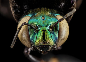 Eufriesea pulchra, m, face, guyana_2014-07-26-16.40.17 ZS PMax - Free image #283039