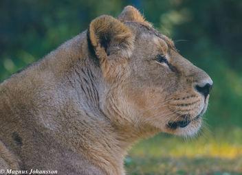 Lioness - Free image #283099
