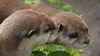 Asian Short Clawed Otters - image gratuit #283209