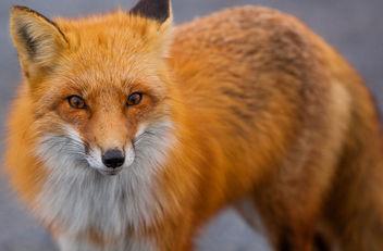 Fox Stare - image #283499 gratis
