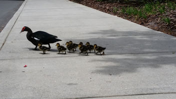 Duckling Crossing - Free image #283639