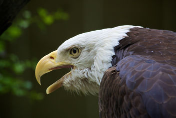 Bald eagle_Bronx Zoo - image #283849 gratis