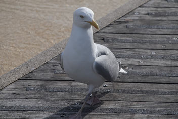 Seagull - Free image #283959
