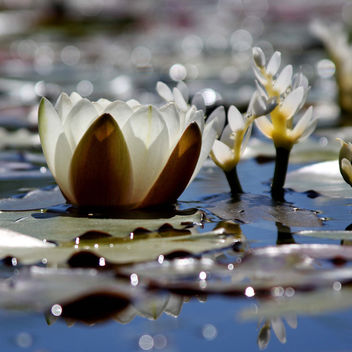 Water Lilies and Light - image gratuit #284109