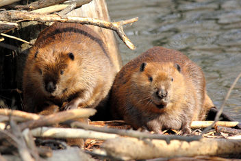 Maw & Paw Beaver - Free image #284869
