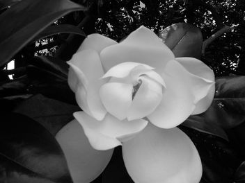 Magnolia - Free image #285499