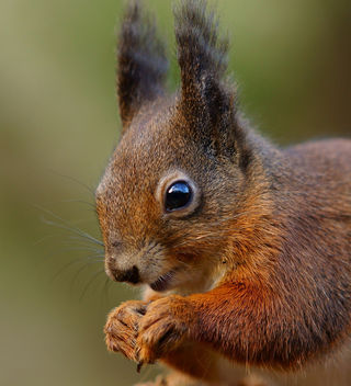 Squirrel Portrait - image gratuit #285939