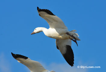 Snow Geese - Kostenloses image #286019