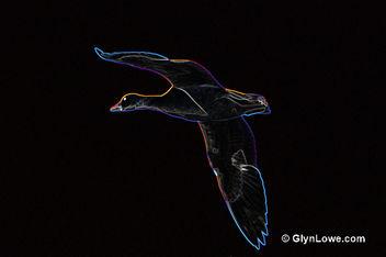Black Goose - Free image #286039